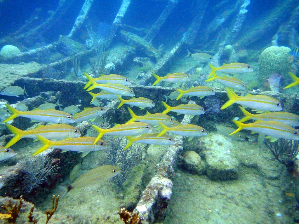 Yellowtail Snapper in Key Largo